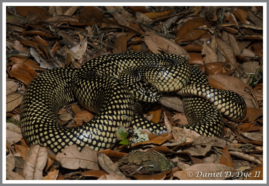 Apalachicola Kingsnake (Lampropeltis getula goini - meansi)