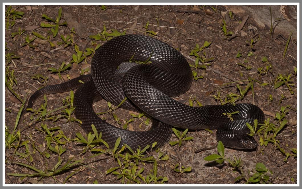 Black Pine Snake   Florida Backyard Snakes