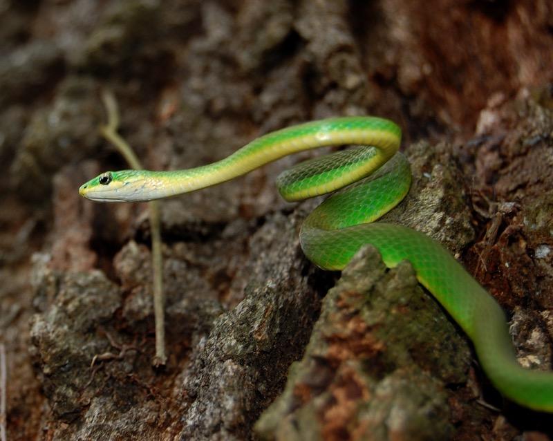 Rough Green Snake | Florida Backyard Snakes