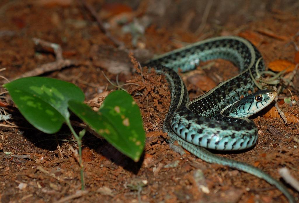 Eastern Garter Snake | Florida Backyard Snakes