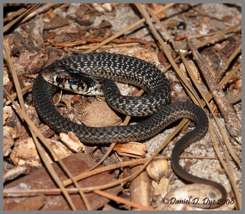 Eastern Garter Snake   Florida Backyard Snakes