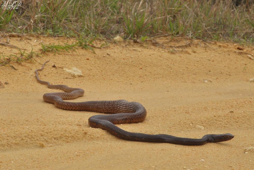 Non venomous snake pictures Non Venomous Snakes Outdoor Alabama