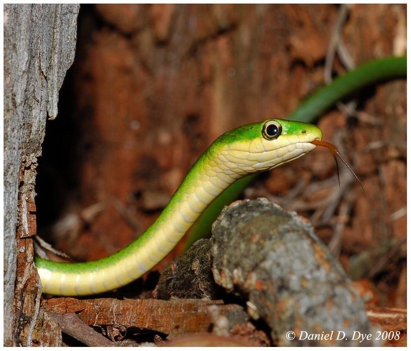 Rough Green Snake   Florida Backyard Snakes