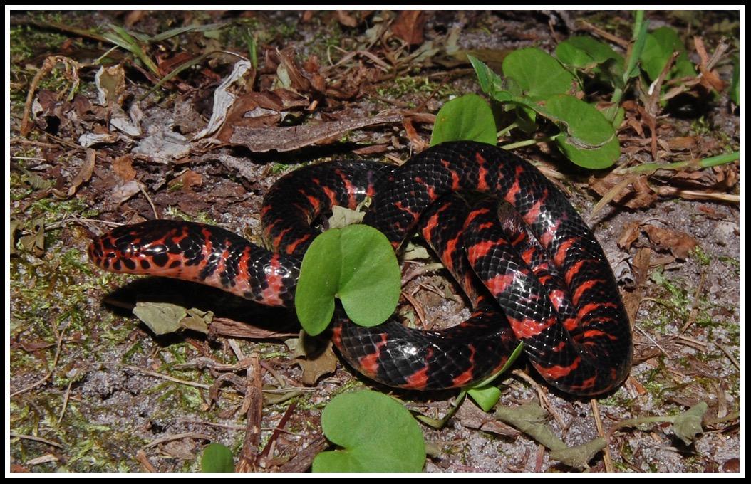 mud snake florida backyard snakes