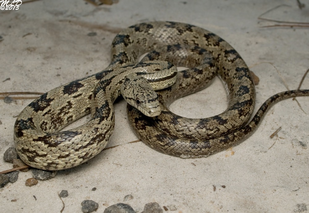 Gray Rat Snake | Florida Backyard Snakes