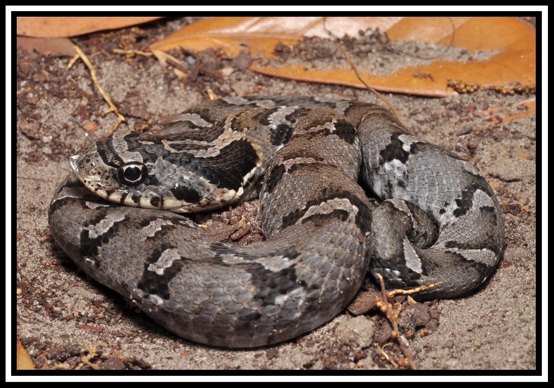 eastern hognose snake florida backyard snakes