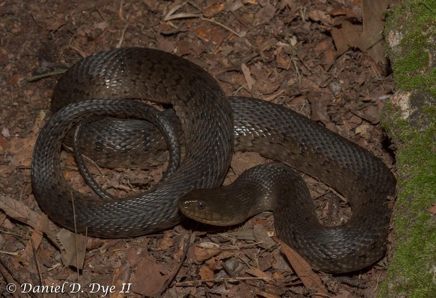 Florida Green Watersnake   Florida Backyard Snakes