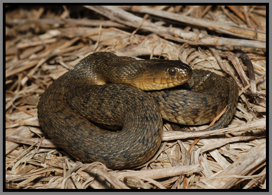 Florida Green Watersnake | Florida Backyard Snakes