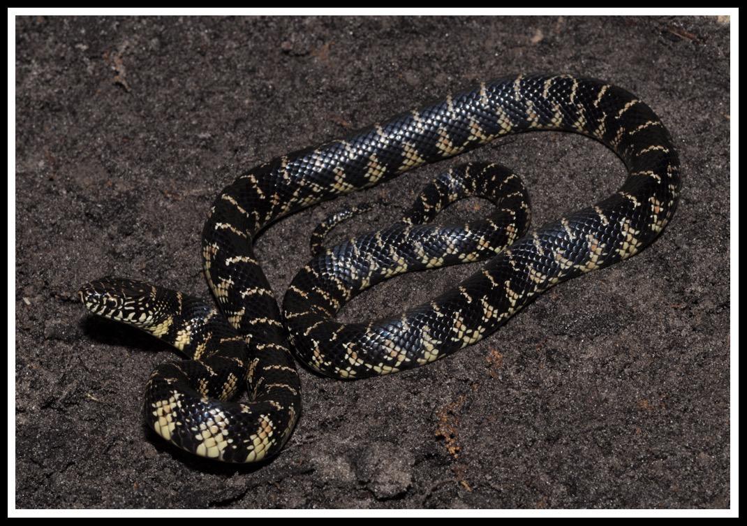 kingsnakes of florida florida backyard snakes