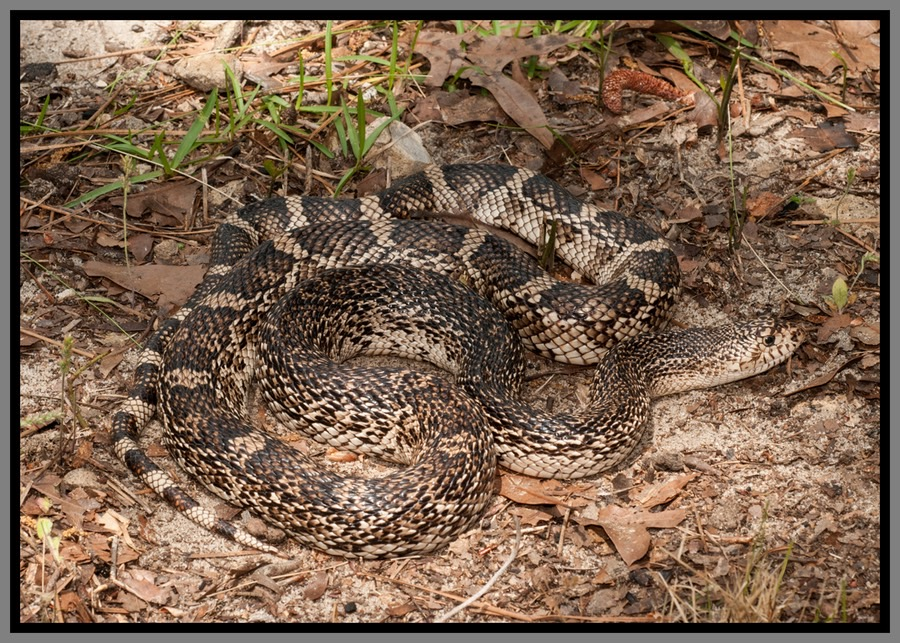 Florida Pine Snake | Florida Backyard Snakes