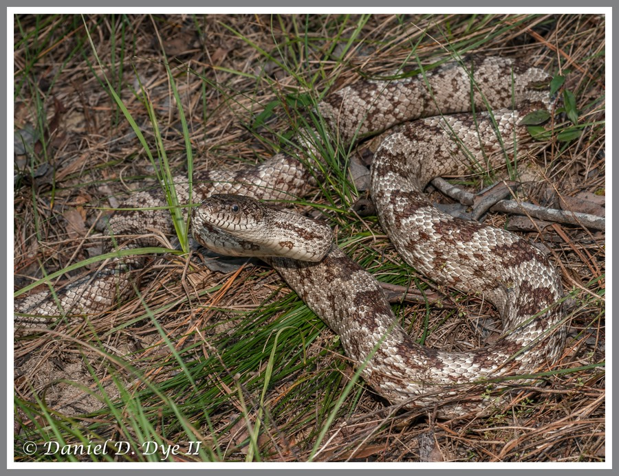 Gray Rat Snake (Pantherophis obsoleta spiloides)