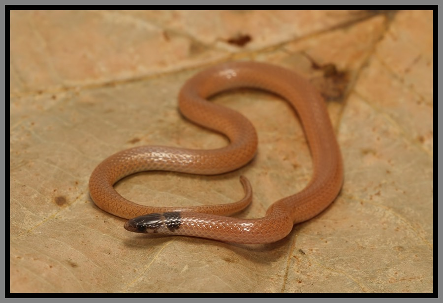 Florida Backyard Snakes 28 Images Eastern Coachwhip