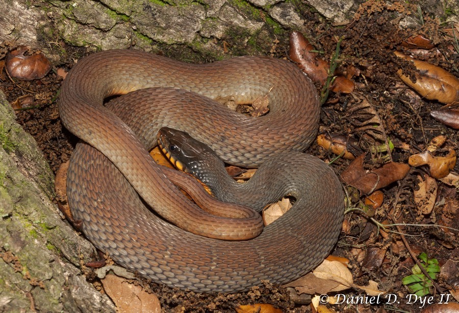 Red-bellied Watersnake (Nerodia erythrogaster)